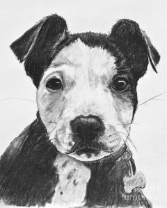 pitbull-puppy-black-and-white-kate-sumners